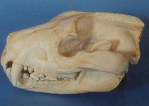 Tasmanian Devil Skulls Replicas Models