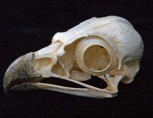 Osprey Skulls Replicas Models