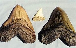 Shark Tooth Miocene Black Replica
