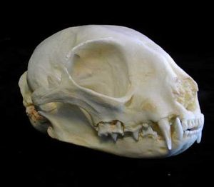 Asian Jungle Cat Female Skulls Replicas Models