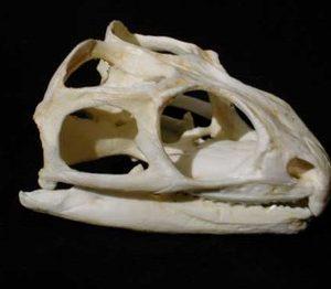Tuatara Skull Replicas Models