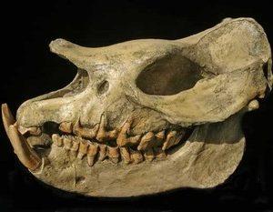 Fossil Rhinoceros Skulls Replicas Models
