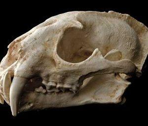 Clouded Leopard Skulls Models Replicas