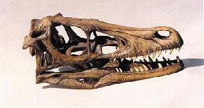 Velociraptor Dinosaur Skulls Replicas Models