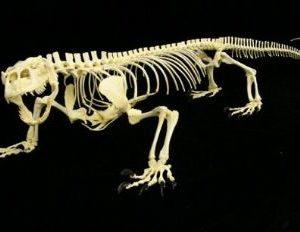 Komodo Dragon Female Skeleton