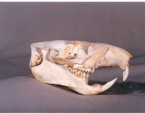 Woodchuck Skulls Replicas Models