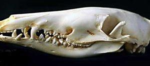 Northern Brown Bandicoot Adult Skulls Replicas Models