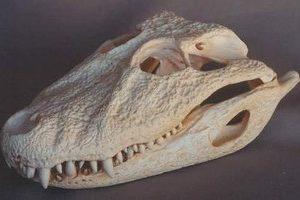 Broad-Nosed Caiman Skull Replica