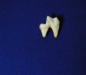 Gray Wolf Molar Tooth Replica