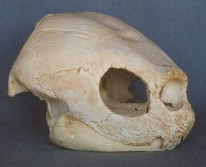 Leatherback Turtle Skull