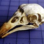 Lappet_faced_King_vulture_bird_skull_replica_RS357-UiNEL-XdymO-dCFFK
