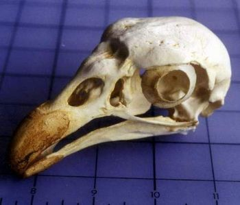 Lappert Faced King Vulture Adult Male Bird Skull