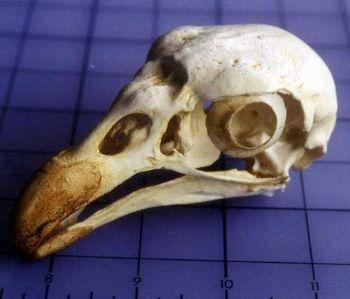 Lappert Faced King Vulture Adult Male Bird Skull