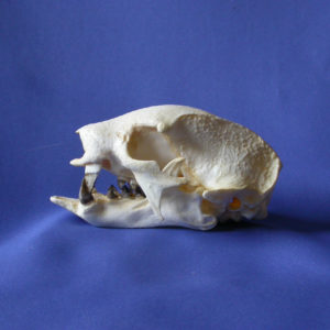 Sloth Skulls and Skeletons