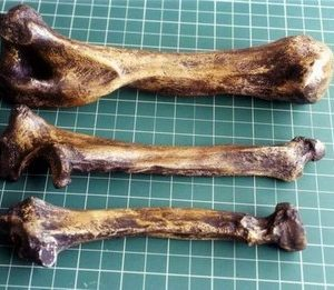 American Lion Radius Bones Replicas Models