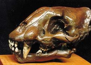 Sabertooth Cat Juvenile Skulls Replicas Models