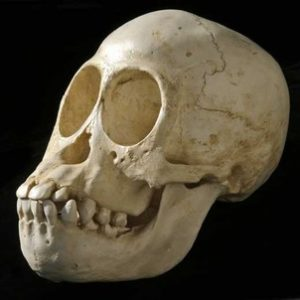 Orangutan Juvenile Skulls Replica Model