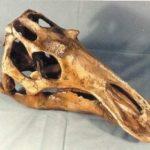 Maiasaura JuvenileDinosaur Skull Replica