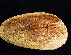 Acadoparadoxides Trilobite Replica