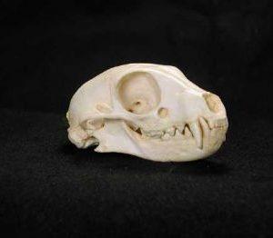Meerkat Skull Replica