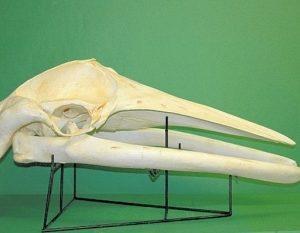 Minke Whale Skull Mount