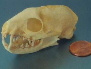 Mongoose Crab Eater Skull Replica
