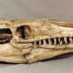 Mosasaurus Skull Replica