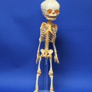 Human Fetus Skeleton Replica Model