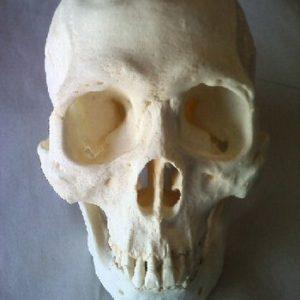 Human Skulls Replica Model