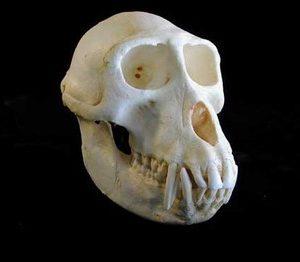 Sooty Mangabey Male Skulls Replica Model