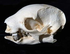 Two Toed Male Tree Sloth Skulls Models Replicas