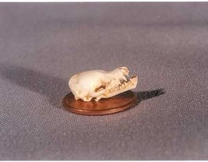 Little Brown Bat Skull Replica Model
