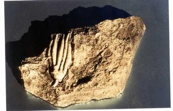Crinoid Scytalocrinus Plaque