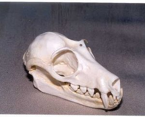Fruit Bat Skulls Replica Model