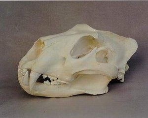 African Lion Skulls Replicas Models