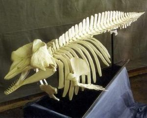 Pygmy Sperm Whales Skeletons Replicas Models Disarticulated
