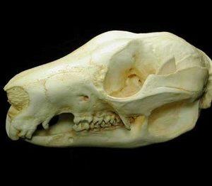 Tree Kangaroo Skulls Replicas Models