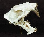 Felidae or Big Cats Skulls