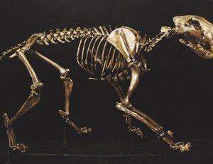 American Lion Skeleton
