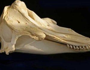 Pilot Whale Skull Replica