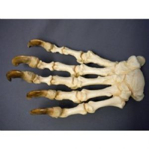 Polar Bear Ursus maritimus Articulated Front Foot Replica