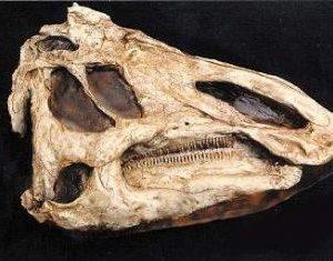 Prosaurolophis Dinosaur Skull Replica
