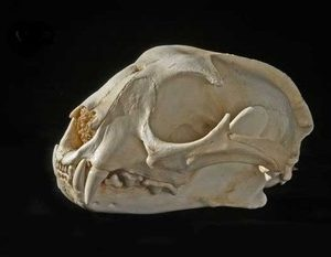 Caracal Male Skulls Replicas Models