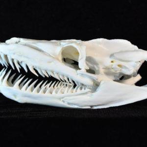 reticulated python snake skull