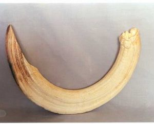 Hippopotamus Left Canine Tooth Replicas