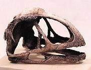 Avimimus Portentosus Dinosaur Skull Fossil Replica