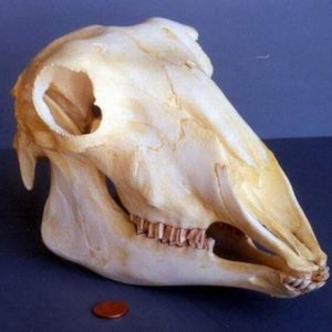 Domestic Sheep Skulls Replicas Models