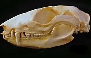 Woolly Opossum Skulls Replicas Models