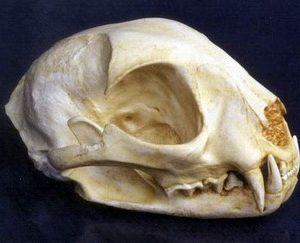 Ocelot Skulls Replicas Models