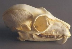 Red Ruffed Lemur Skulls Replicas Models
